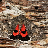 MT15-Large red underwing
