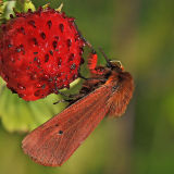 MT16-Ruby Tiger on wild strawberry