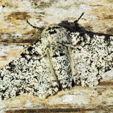 MT17-Peppered Moth