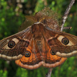 MT21-Emporer Moth male