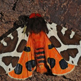 MT26-Garden Tiger moth