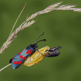 MT28-Recently Emerged 6 spot burnet moth