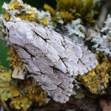MT29-Grey Dagger Moth