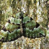 MT3-Green carpet  moth