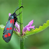 MT4 6 spot burnet moth