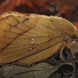 MT5-Drinker Moth