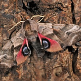 MT6-Eyed Hawk Moth