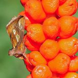 MT9-Goldspot moth