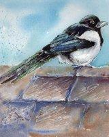 'Rose' the magpie
