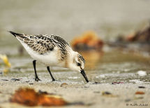 Foraging Sanderling
