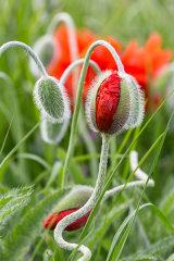 Poppies # 2