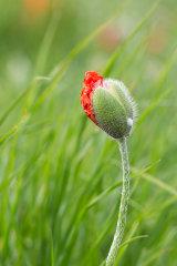 Poppies # 3