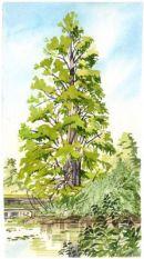 Swamp Cyprus - Kew Gardens, Richmond Surrey