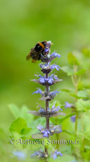 Bumble Bee on Bugle Flower