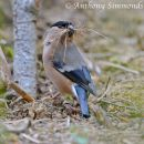 Bullfinch with Nesting Material
