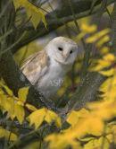 Barn Owl in Autumn Foliage
