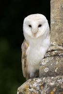 Barn Owl Perched On Church