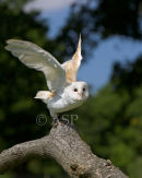 Barn Owl on Take-Off