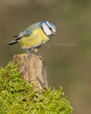 Inquisitive Blue Tit