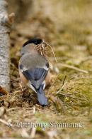 Bullfinch Collecting Nesting Material
