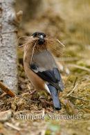 Bullfinch Collecting Nesting Material - 2
