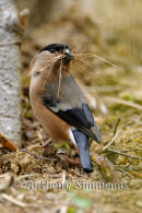 Bullfinch Collecting Nesting Material - 3