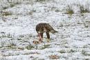 Buzzard Feeding In The Snow