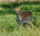 Fallow Deer In Dappled light