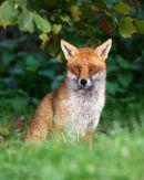 Fox in Autumn Sunlight