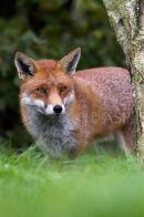 Fox Peeping Around Tree