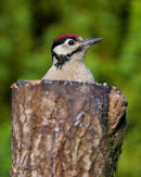 Greater Spotted Woodpecker Juvenile