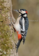 Greater Spotted Woodpecker (Cock) Portrait