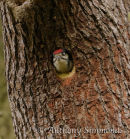 Greater Spotted Woodpecker Young In Nest