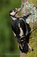 Greater Spotted Woodpecker - Cock