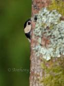 Greater Spotted Woodpecker - 'Hide & Seek'