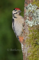 Greater Spotted Woodpecker - Juvenile