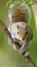 Grey Squirrel Looking Head-On