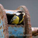"""Great Tit Bringing out """"Waste"""""""