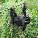 Young Mountain Gorilla - Just Hanging Out