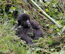 """Young Mountain Gorilla - """"Fangs"""""""