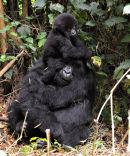 Mountain Gorilla Mother & Baby on Head