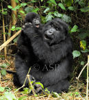 Mountain Gorilla Mother & Baby Sharing Intimate Moment