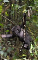 Young Mountain Gorilla Swinging in Tree