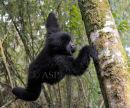 Gorilla Swinging to Tree