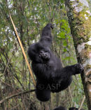 Gorilla Dangling from Tree