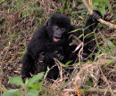 Gorilla's Playing by Tree