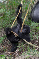 Young Gorilla Climbing on Vine