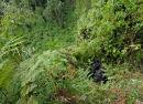 Silverback Mountain Gorilla sitting in habitat