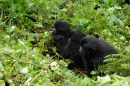 """3 Young Gorilla's on the """"Lookout"""""""