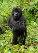 Young Mountain Gorilla Chest Beating